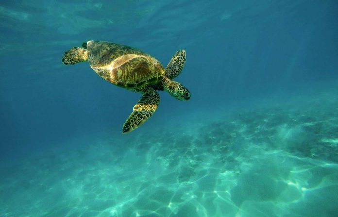 Fuerteventura: Schildkröte nach zwei Jahren Rehabilitation ins Meer entlassen