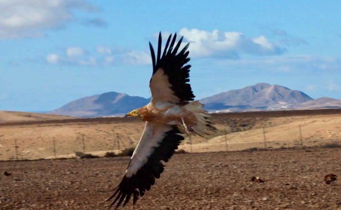 Fuerteventura: Kanarischer Schmutzgeier nach Rehabilitation freigelassen - Bildquelle: Oasis Wildlife