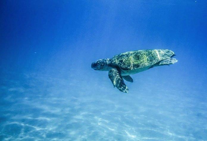 Zwei Schildkröten in Puerto del Rosario ins Meer entlassen